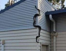 """Rợn người khoảnh khắc trăn trèo tường để """"đột nhập"""" vào nhà"""