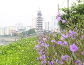 Bất ngờ với đường hoa tím bên bờ sông Tô Lịch