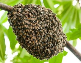 Các cụm ong mật vượt qua việc bị gió thổi bằng cách nào?