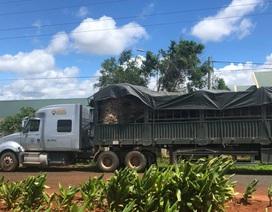 """Tạm giữ cây đa """"khủng"""" đang được vận chuyển từ Đắk Lắk ra phía Bắc"""
