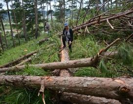 Khởi tố để điều tra hành vi phá rừng của 2 doanh nghiệp trồng rừng