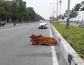 """Chủ xe ô tô bức xúc vì công an """"âm thầm"""" tiêu hủy bò gây tai nạn"""