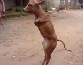 Hiếu kỳ xem chú bò 2 chân biết đi thẳng như người