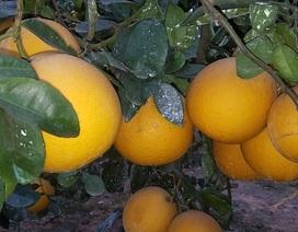 Dân trồng bưởi Diễn canh gác cả ngày chống trộm