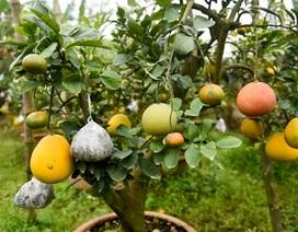 Độc đáo bưởi cảnh ghép 10 loại quả trên một cây