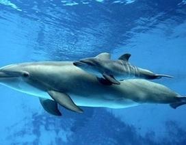 Nghiên cứu về chế độ ăn của cá heo giúp ích cho việc bảo tồn