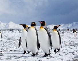 Canada lạnh đến nỗi phải đưa chim cánh cụt vào trong nhà