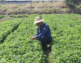 Chàng kỹ sư điện bỏ nghề về trồng rau thu trăm triệu đồng mỗi tháng