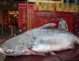 Đại gia Hà Nội bỏ cả trăm triệu mua cá khổng lồ về ăn Tết
