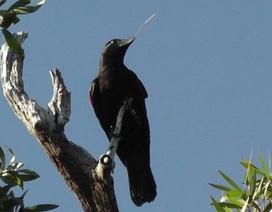 Loài quạ New Caledonian cho thấy công nghệ phát triển bằng cách nào?