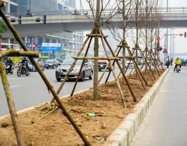 Cây phong lá đỏ lần đầu tiên được trồng trên phố Hà Nội