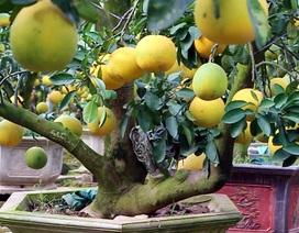 Cây bưởi cổ hiếm có: Cao hơn 1 mét, sai trĩu 300 quả vàng rực