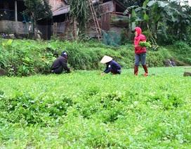 Thu gần trăm triệu nhờ trồng rau liệt quanh giếng cổ ngàn năm