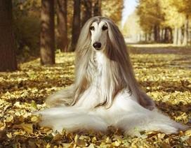 """Chú chó tuyệt sắc có bộ lông dài mượt yêu kiều trở thành """"mẫu ảnh chuyên nghiệp"""""""