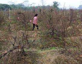 Vụ hàng trăm gốc đào bị chặt phá: Một chủ vườn đào nghi tự tử