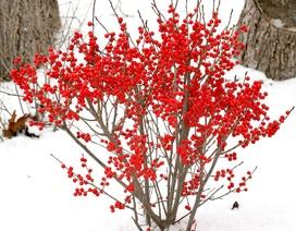 Những loại hoa nhập ngoại được ưa chuộng dịp Tết năm nay