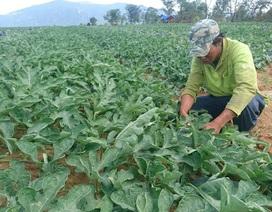 Ninh Thuận: Dưa Tết đã mất mùa còn mất giá