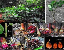 Phát hiện loài gừng mới ở Vườn quốc gia Vũ Quang