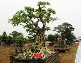 Cây bồ đề trăm tuổi độc nhất Việt Nam, đại gia đặt 2 tỷ đồng không mua nổi
