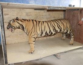 Chuyển giao hổ Bengal nhồi bông cho Bảo tàng Thiên nhiên