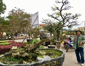 Chiêm ngưỡng cây Hoàng Mai độc nhất vô nhị tại Quảng Bình được phát giá 5 tỷ đồng