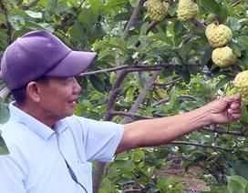 Giáp Tết, nông dân thu hàng trăm triệu đồng từ trái mãng cầu ta trái vụ