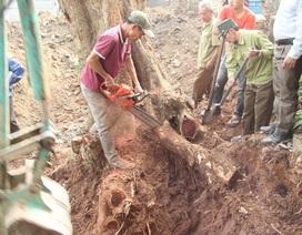 """Cận cảnh buổi chặt hạ """"cây sưa trăm tỷ"""" ở Hà Nội"""