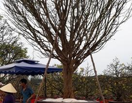 """Xuất hiện nhiều cây mai """"khủng"""" tại chợ hoa Tết Đà Nẵng"""