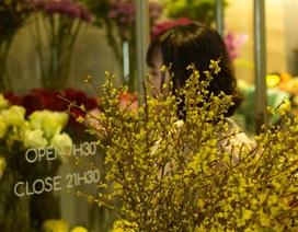 Hoa mai tàn mà không rụng giá tiền triệu khiến dân thủ đô tò mò