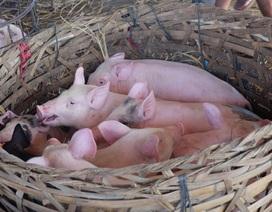 Độc đáo chợ heo Bà Rén ở Quảng Nam