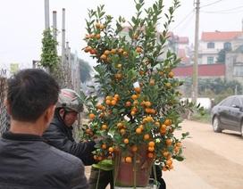 Hà Nội: Người chở đào, quất thuê kiếm hàng triệu đồng mỗi ngày