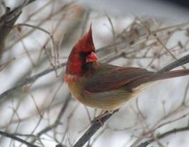Độc đáo chim hồng y có ngoại hình nửa đực, nửa cái siêu hiếm