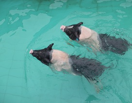 Năm con lợn kể chuyện xây bể tắm nóng lạnh cho lợn