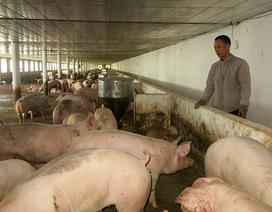 """Quảng Bình:Xây nhà đẹp, sắm """"xế hộp"""" xịn nhờ nuôi lợn trong phòng lạnh"""
