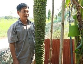 Quảng Ngãi: Độc đáo buồng chuối trên 100 nải, dài hơn 2m