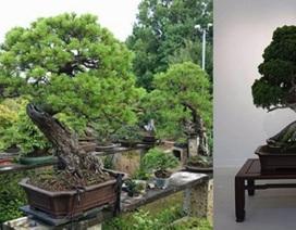 """Sành cây cảnh, trộm """"thó"""" luôn cây bonsai 400 tuổi trị giá hơn hai tỉ đồng"""
