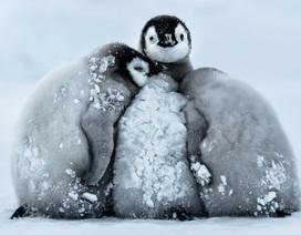 """Cách chim cánh cụt """"làm việc nhóm"""" để giữ ấm khiến bạn phải thán phục"""