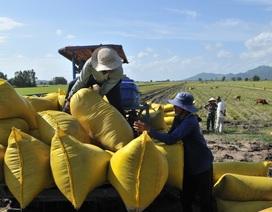 Vì sao gió hiu hiu là DN xuất khẩu gạo, nông dân trồng lúa ngã bệnh?