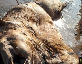 Phát hiện xác cá voi hơn 15 tấn trên biển Cà Mau