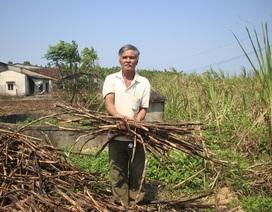 """Quảng Ngãi: Mía """"chết"""" giữa đồng, nông dân đứng trước nguy cơ thất thu"""