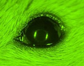 Các nhà khoa học sử dụng công nghệ nano giúp chuột có khả năng nhìn ban đêm