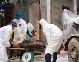 Hà Nam: Tiêu hủy hơn 500 con lợn trong 7 ổ dịch tả lợn châu Phi