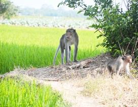 Bắn hạ khỉ đầu đàn trong bầy khỉ hoang đại náo làng quê