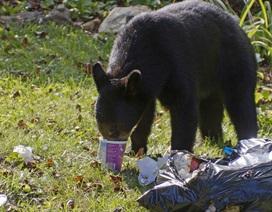 Thực phẩm chế biến sẵn có thể khiến gấu hoang ít ngủ đông và già đi