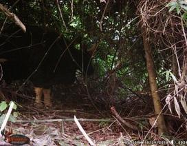 Phát hiện nhiều cá thể bò tót trong VQG Phong Nha - Kẻ Bàng