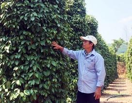 """Bình Định: Giá hồ tiêu """"xuống vực"""", nông dân lâm nợ"""