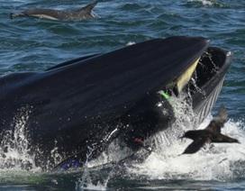 Bị cá voi khổng lồ cắn ngang người, vẫn sống sót như thần thoại