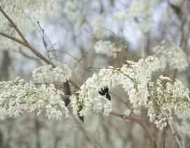 Mùa hoa sưa Hà Nội nở trắng trời níu chân người qua đường