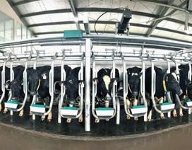 Vinamilk nhập thêm 1.600 bò sữa HF và A2 từ Mỹ
