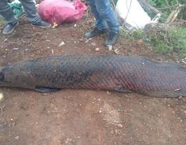 """Kỳ lạ lươn """"khổng lồ"""" dài gần mét, cá lạ nặng một tạ xôn xao dư luận"""